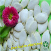 Surtidor blanco de la semilla de calabaza