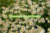 10: 1개의 순수한 자연적인 항알레르기 장식용 급료 카모밀라 추출 분말