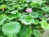 Порошок Nuciferine выдержки 10:1 листьев лотоса фабрики естественный