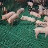 養豚場のために床を張るブタのプラスチックスラット