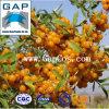 Extracto natural del plantón de frutal del 100% Seabuckthorn