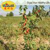 Nêspera USDA Nof Goji secado orgânico