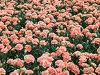 基礎植わることはピンクのカーネーションの切りたての花を提供する
