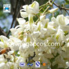 Extrait de Japonica de Sophora d'approvisionnement de fabricant