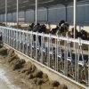 Скотины/Headlock телушки/икры оборудования фермы