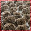 Polysaccharides normaux d'extrait de /Grifola Frondosa d'extrait de champignon de couche de Maitake