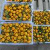 O mandarino fresco do bebê de Nan Feng