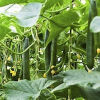 아미노산 칼륨 농업 비료