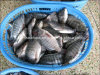 كاملة مستديرة يجمّد [تيلبيا] سمكة