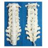 Het medische Menselijke Model van het Skelet van de Ruggewervel (R010109)