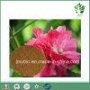 Extracto de la Flor del Hibisco de /Natural de las Antocianidinas y de la Vitamina C/polvo de los Polifenoles