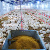 Poultry automatique Broiler Equipment et Farm Contruction