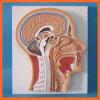 외과 기구를 위한 맨 위 두뇌 모형의 메디아 단면도