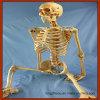 Modelo Medical Supply esqueleto humano Medical Ensino Anatómico Osso