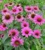 Polyphenol van het Uittreksel van Purpurea van Echinacea, HPLC Cichoric Zure 2-4%