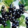 까막까치밥 나무 추출물, 10%, 15% 의 UV 25% 안토시아니딘