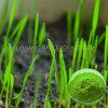 200 Mesh Wheat Grass Powder自然、Conventional