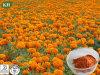 Natural 5%, 10%, 20%, 80% Extracto de luteína Marigold
