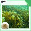 إمداد تموين طبيعيّة جيّدة عشب بحر مقتطف [فوكيدن] مسحوق