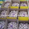 Aglio bianco normale fresco cinese del nuovo raccolto