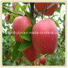 De ingeblikte Fruit Ingeblikte Leverancier van de Fabrikant van Appelen