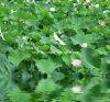 Lotus Leaf Extract Nuciferine 2% par HPLC, 10:1
