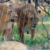 사자 울안 메시 또는 스테인리스 철사 밧줄 메시 또는 그물세공
