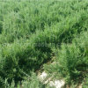 Мушмула USDA Nof органическое высушенное черное Goji