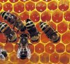 꿀벌 Propolis/왕 묵