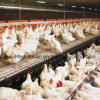 Poultry automatico Equipment per Breeder