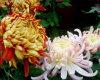 Chrysantheme-Auszug