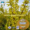 Extrait de fruit de Suspensa de forsythia de phytothérapie