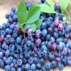 Extracto de Billberry de la categoría alimenticia