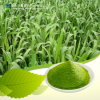 La fabbrica fornisce la polvere verde solubile in acqua dell'erba di orzo di 100%