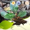 Herbe naturelle Pyrolae de matière première de phytothérapie