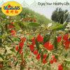 Высушенная мушмулой ягода волка Ningxia красная органическая