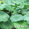 Losing Weight를 위한 음식 Additive Natural Lotus Leaf P.E.