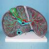 Het menselijke Model van het Onderwijs van de Anatomie van de Lever Medische (R100105)
