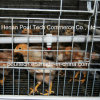 Neuer Typ Chick Brood Cage für The Chicken Farm (a-Feld)