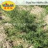 Lbp USDA Nof органическое высушенное Goji мушмулы