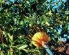 Raccoglitrice della frutta del collettore della frutta della macchina di raccolto di alta qualità sulla maniglia di estensione telescopica Palo