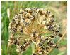 Natürliches Lauch-Startwert- für Zufallsgeneratorauszug/Samen Allii Tuberosi Puder