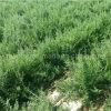 Bacca nera di Goji delle efficaci erbe della nespola