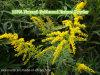 Polvere gialla carica naturale dell'estratto della fabbrica