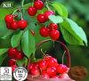 Здоровье и Nutritious витамин c 17% выдержки вишни Acerola, 25%.