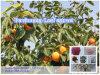 Flavonoide naturale della polvere dell'estratto del foglio del cachi di 100%
