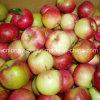 Gute Qualität für den Export des frischen roten Sternes Apple