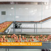 養鶏場で使用される自動家禽装置の鶏の上昇