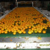 Selling caldo in Bangladesh Market Fresh Baby Mandarin Orange