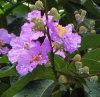 Banabaの葉のエキスのCorosolicの酸CAS第4547-24-4